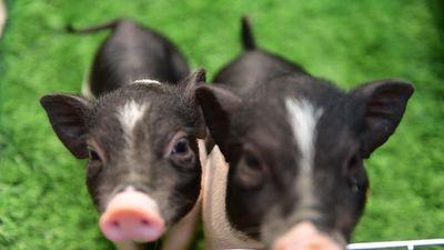 Giới trẻ Hà Thành nuôi lợn mini giá tiền triệu làm thú cưng