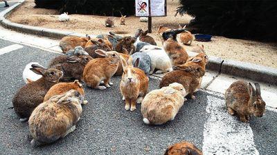 Bí mật đảo thỏ nổi tiếng hút khách du lịch ở Nhật Bản
