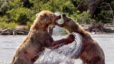 Gấu nâu hoang dã tung đủ chiêu ác 'dằn mặt' đồng loại