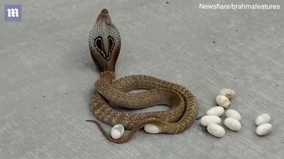 Clip: Rắn hổ mang đẻ trứng sòn sòn giữa đường đông đúc