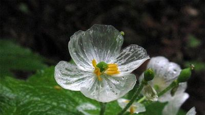 Kỳ ảo loài hoa xương, cứ trời mưa là 'khoe thân' xinh xắn