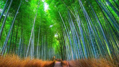 Lạc lối giữa rừng tre đẹp như phim kiếm hiệp ở Nhật Bản