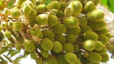 Tròn mắt xem những cây sầu riêng chi chít quả
