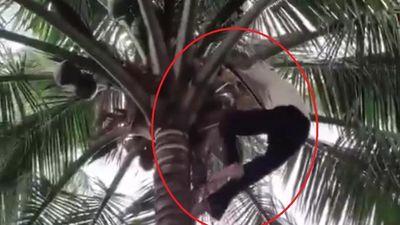 Cụ bà gần 80 tuổi thoăn thoắt leo cây hái dừa