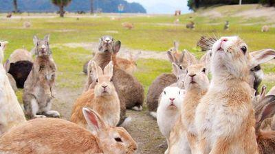 Quá khứ đen tối của đảo thỏ tại Nhật Bản