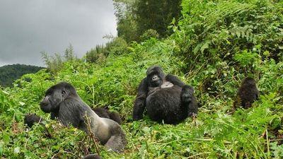Bất ngờ cách khỉ đột 'đưa tang' đồng loại đã qua đời