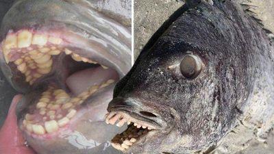 Phát hiện cá có hàm răng giống người xuất hiện bên bờ biển