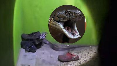 Kinh hãi phát hiện con rắn hung dữ gần 2 mét trong giày