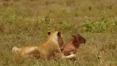 Linh dương đầu bò con mải chơi, vô tình lạc đàn rơi vào tầm ngắm của báo săn