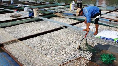 1.000 tấn cá chết bất thường không rõ nguyên nhân, người dân Đồng Nai thiệt hại nặng nề thế nào?