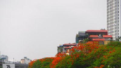 Tháng 5, hoa phượng nở đỏ trời ven sông Tô Lịch
