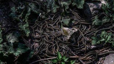 Rợn người ghé nơi hàng nghìn con rắn nhung nhúc 'xâm chiếm' vào mùa