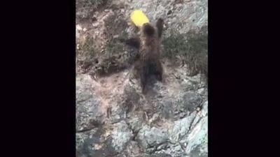 Chú gấu nâu kẹt đầu trong xô được cảnh sát giải cứu