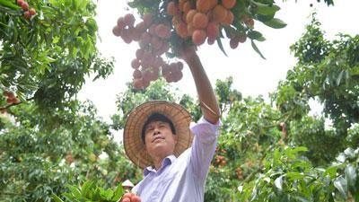 Bắc Giang: Bí quyết bắt vải thiều 'đẻ' trên thân kiếm tiền tỷ mỗi năm của nông dân Sán Dìu