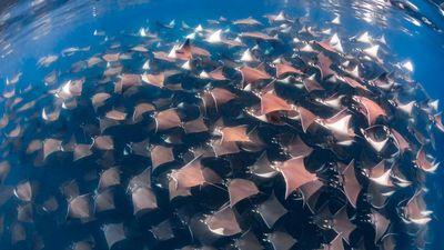 Bơi lội giữa đàn cá đuối hàng nghìn con ở Mexico