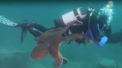 Kinh dị cảnh bạch tuộc khổng lồ săn giết thợ lặn