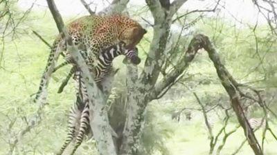 CLIP: Báo hoa mai tha xác ngựa vằn lên cây để ăn thịt