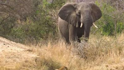 Chú voi cứu đàn linh dương khỏi cuộc tấn công của báo