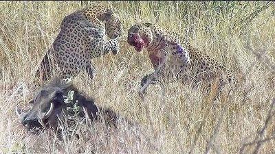 Mải đánh nhau đòi độc chiếm, hai chú báo đốm để tuột mất chú lợn rừng