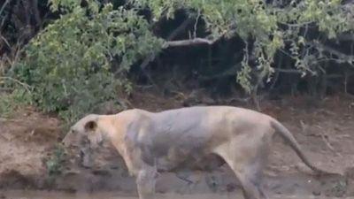 CLIP: Sư tử 'phát điên' khi bị rắn mamba đen cắn