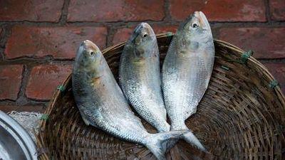Loài cá có buồng trứng to bằng cổ tay người, có ở VN