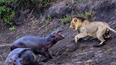 CLIP: Hà mã con ác chiến với sư tử đực để bảo vệ mẹ