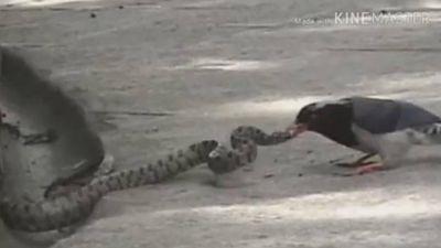 Liều lĩnh ăn thịt chim non, rắn bị chim mẹ mổ vào đầu đến chết