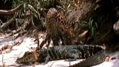 CLIP: Tấn công cá sấu, báo đốm nhận 'cái kết đắng'