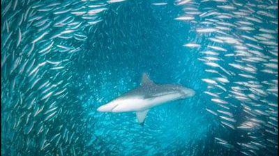 Clip: Hàng ngàn con cùng bơi sát nhau nhưng không hề va chạm, bí mật của loài cá là gì?