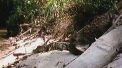 Báo non liều lĩnh chọc giận cá sấu và cái kết đau đớn