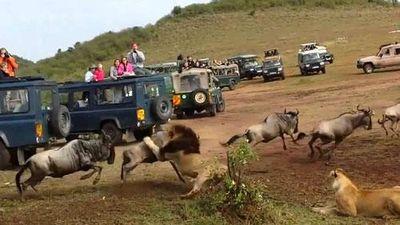 CLIP: Sư tử đực đoạt mạng linh dương đầu bò trong nháy mắt