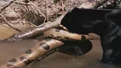 Báo đen kịch chiến với trăn Anaconda dưới nước và cái kết bất ngờ