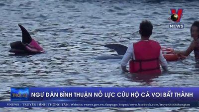 Ngư dân Bình Thuận nỗ lực cứu hộ cá voi bất thành