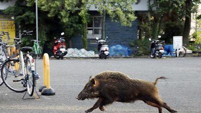 Cảnh sát mất 8 tiếng để vây bắt … một con lợn