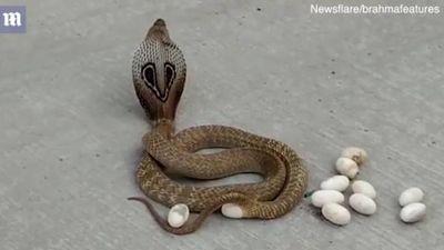 Rùng mình cảnh rắn hổ mang đẻ trứng giữa đường phố