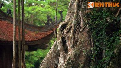 Sự thật những cây cổ thụ huyền bí ở cố đô Lam Kinh