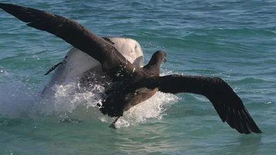 Hải âu mới tập bay nỗ lực thoát khỏi hàm cá mập