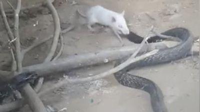 Chuột bạch sử dụng vũ khí lợi hại cắn nát đầu rắn hổ mang