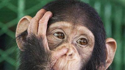 Khỉ dùng đá đập vỡ kính, cố gắng 'trốn' khỏi sở thú