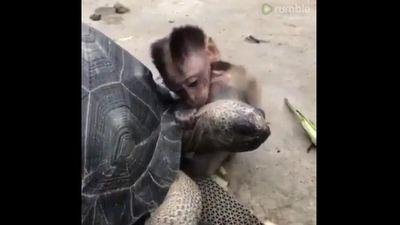Chú khỉ nhỏ quấn quýt bên 'người bạn' rùa sau khi khỉ mẹ chết
