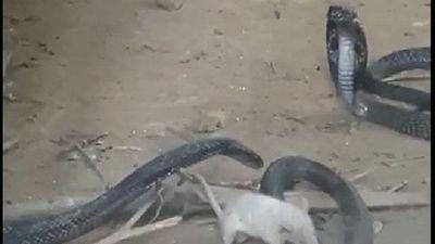 Cảnh tượng ngược đời, rắn hổ mang bị chuột bạch nhai đầu