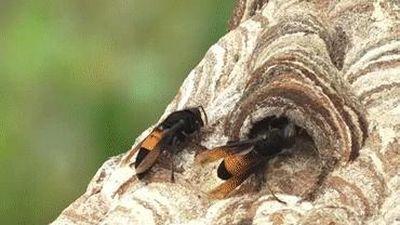 Đưa ong 'tử thần' từ rừng về vườn nhà nuôi, thu lời trăm triệu