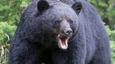 Cách xử lý đúng để bảo toàn tính mạng khi đối mặt với gấu