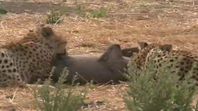 Lợn bướu tử chiến với báo săn