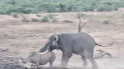 Tê giác mẹ chiến đấu với voi 'điên' để bảo vệ con