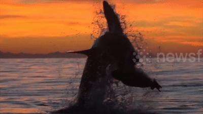 Ngoạn mục cá mập trắng phóng lên không trung đớp mồi