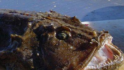 Anko - loài cá xấu xí là món ngon mùa đông ở Nhật Bản