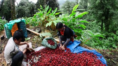 Lào Cai: Giá thảo quả thấp kỷ lục, người dân thiệt hại hàng trăm triệu đồng
