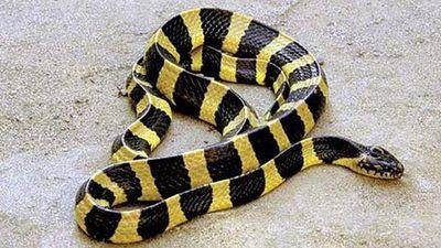 Tay không bắt sống 15 con rắn cạp nong lúc nhúc dưới đống gạch