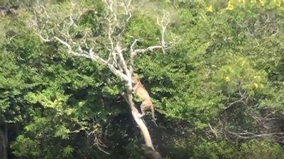 CLIP: Chạm mặt lợn bướu, báo hoa mai vội vàng leo lên cây trốn